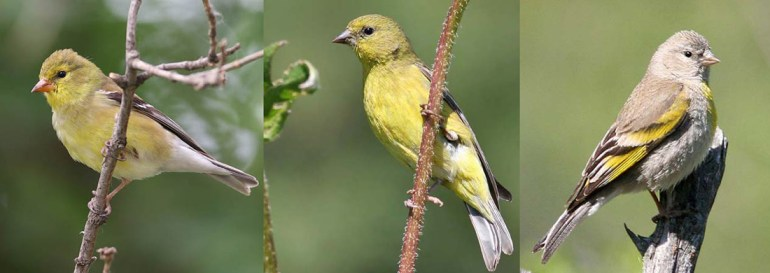 Identifying Goldfinch Species (female)