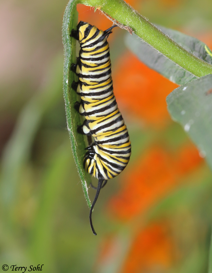 Monarch Butterfly (Danaus plexippus) - Caterpillar