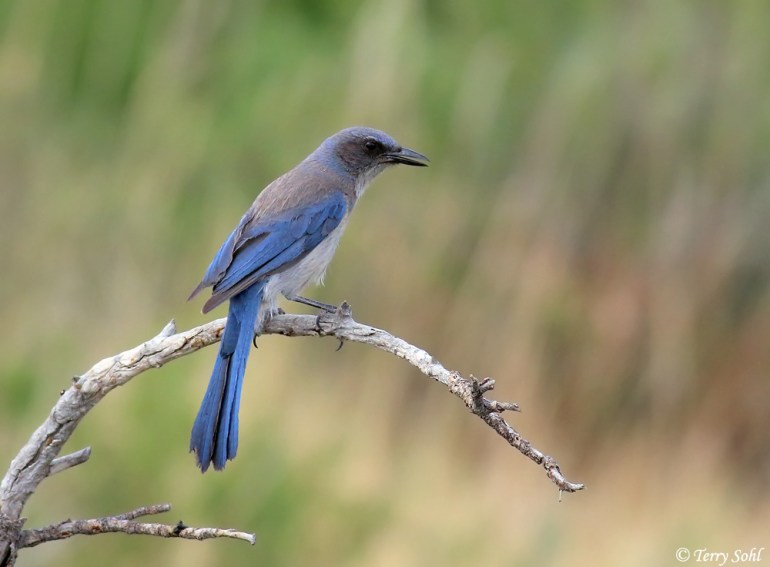 Woodhouse's Scrub Jay - Aphelocoma woodhouseii