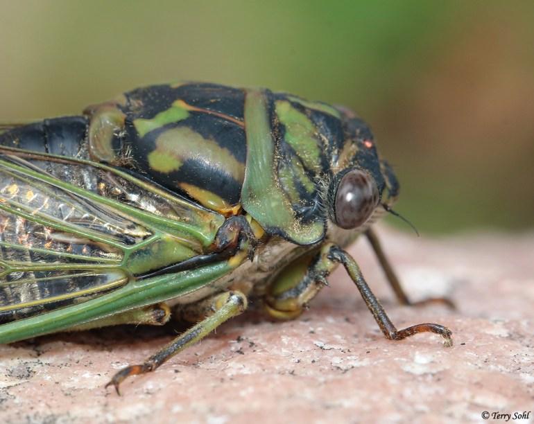Scissors Grinder Cicada - Neotibicen pruinosus