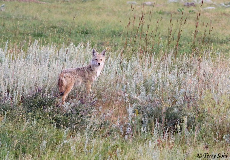 Coyote - Canis latrans - Custer State Park, South Dakota