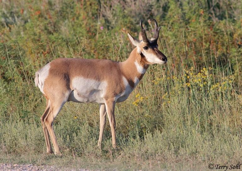 Pronghorn - Antilocapra americana - South Dakota