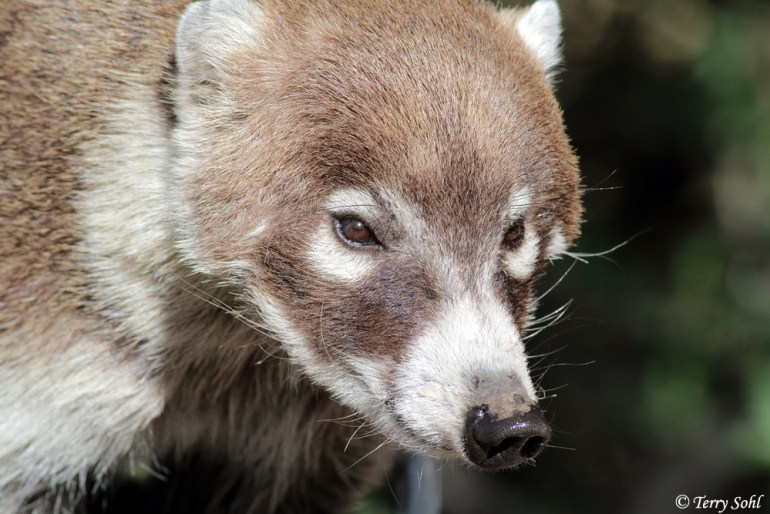White-nosed Coatimundi - Nasua narica