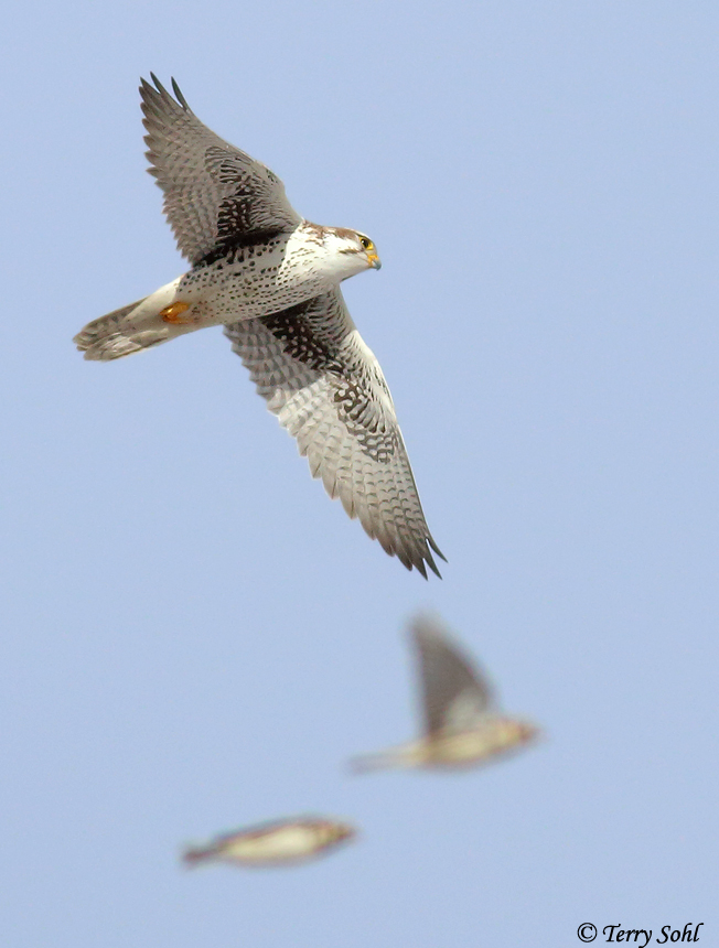 Prairie Falcon and Lapland Longspurs