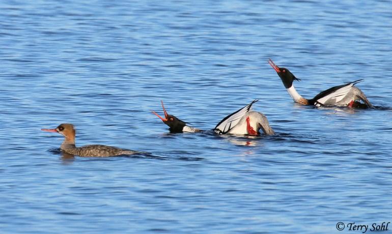 Red-breasted Mergansers Courting - Mergus serrator