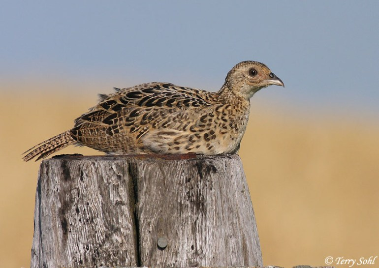 Ring-necked Pheasant - Phasianus colchicus