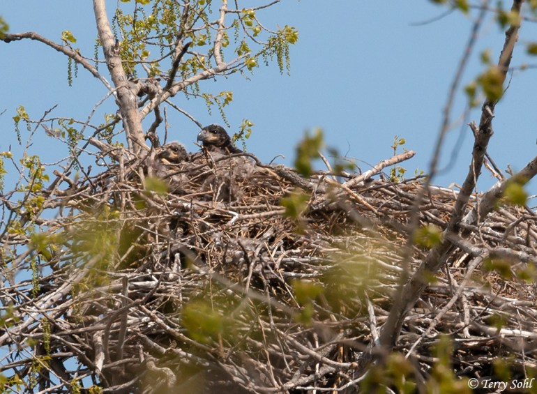 Bald Eagle Young (Haliaeetus leucocephalus) in a Nest