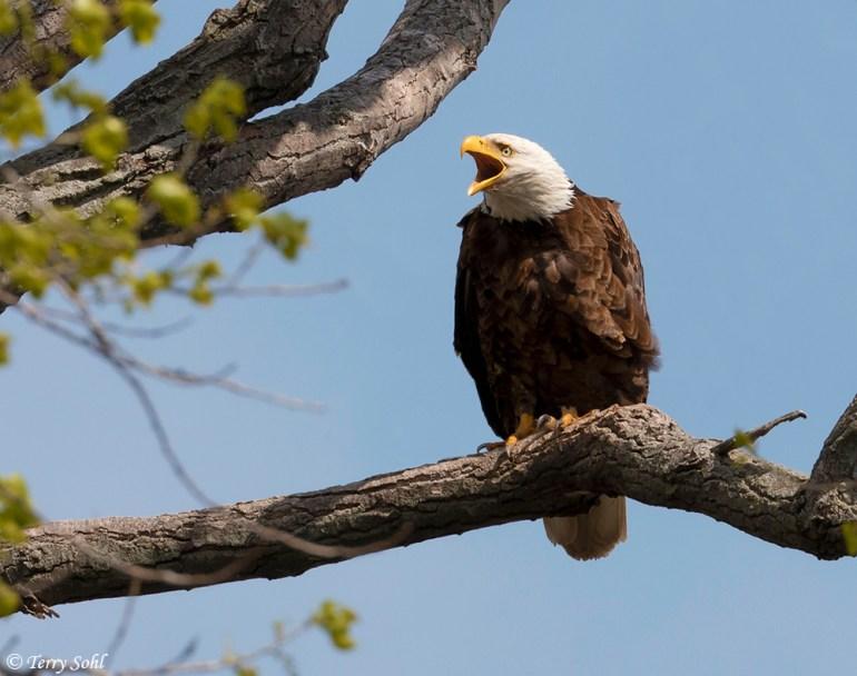 Bald eagle - Bald Eagle (Haliaeetus leucocephalus) near nest site