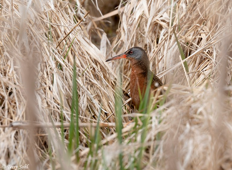 Rallus limicola - Virginia Rail