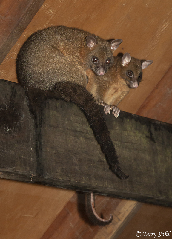 Coppery Brushtail Possum (Trichosurus johnstonii)