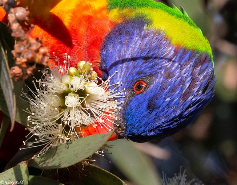 Rainbow Lorikeet feeding on Banksia