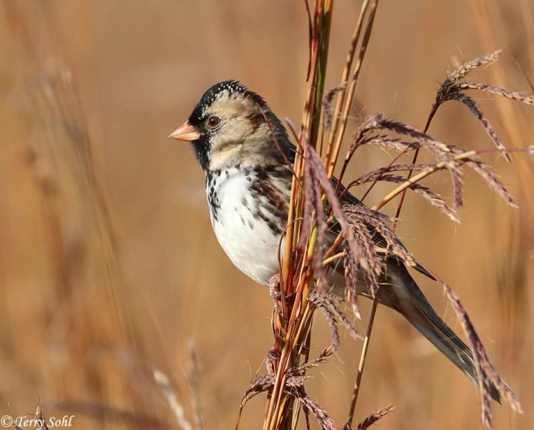 Harris' Sparrow - Zonotrichia querula