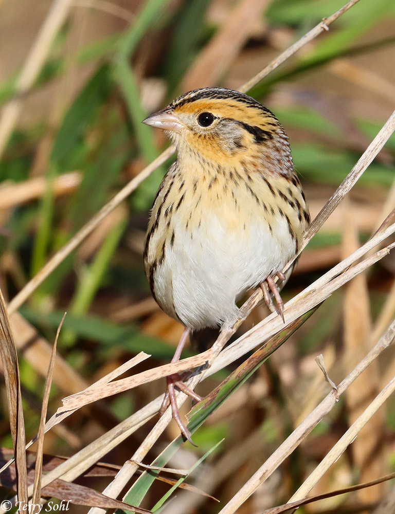 LeConte's Sparrow - Ammodramus leconteii