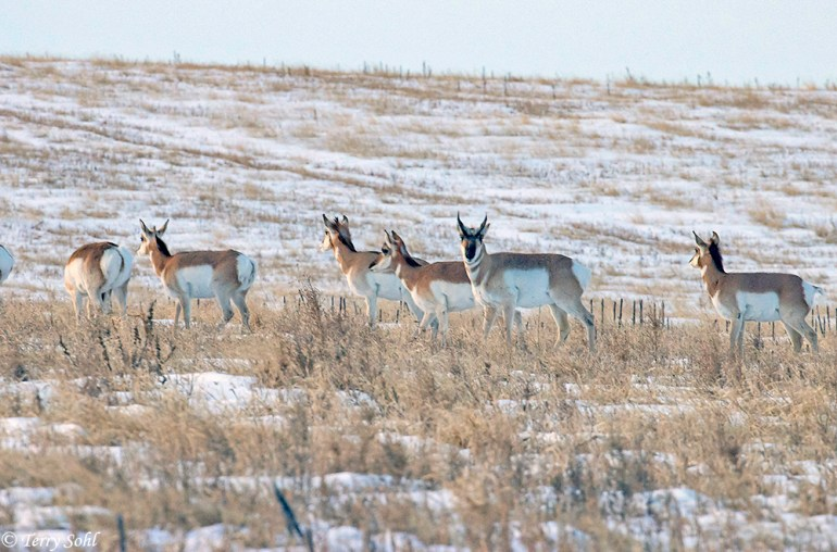 Pronghorn - Fort Pierre National Grasslands