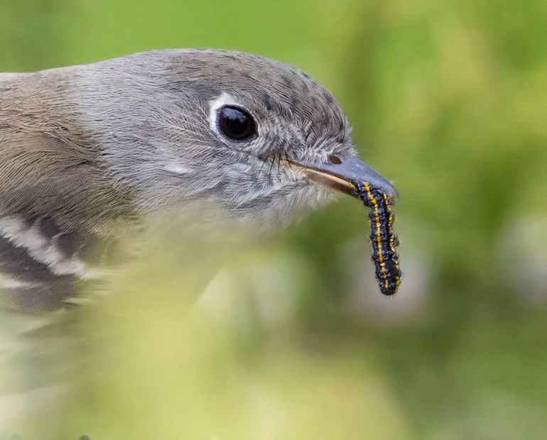 Least Flycatcher  Empidonax minimus May 16th, 2020 Beaver Creek Nature Area, South Dakota