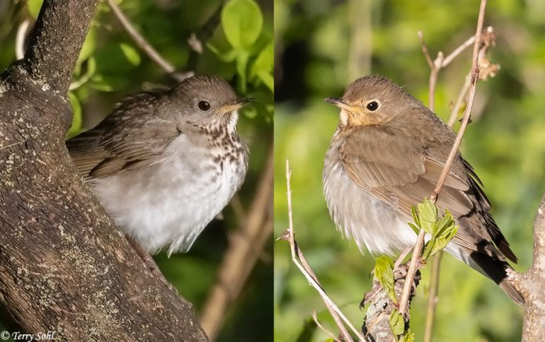 Gray-cheeked vs. Swainson's Thrush