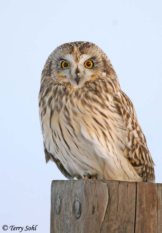 Short-eared Owl - Asio flammeus - Minnehaha County, South Dakota