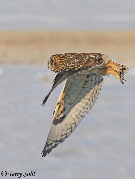 Short-eared Owl in Flight - Asio flammeus - Fort Pierre National Grasslands, South Dakota