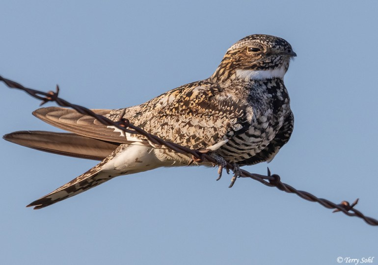 Common Nighthawk (Chordeiles minor) perched on a barbed wire fence.
