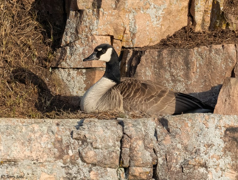 Canada Goose - Branta canadensis - nesting on cliff ledge
