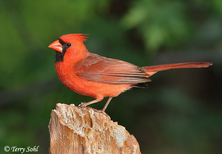 Northern Cardinal South Dakota Birds And Birding