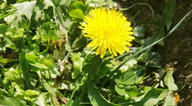Il risotto alle erbe spontanee primaverili, come il tarassaco