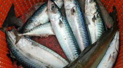 Where have the mackerel gone?