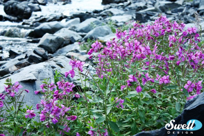 Fireweed, one of Alaska's most iconic images.
