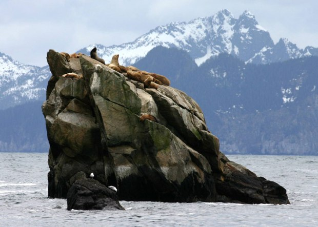 Sea Lions Resurrection Bay