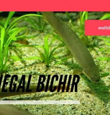 Senegal Bichir