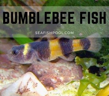 Bumblebee Fish