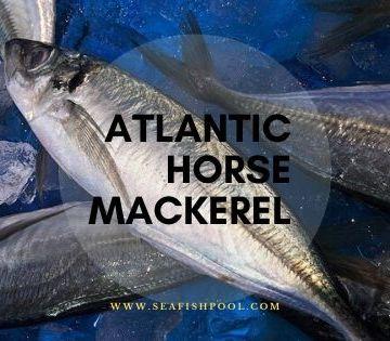 Atlantic Horse Mackerel