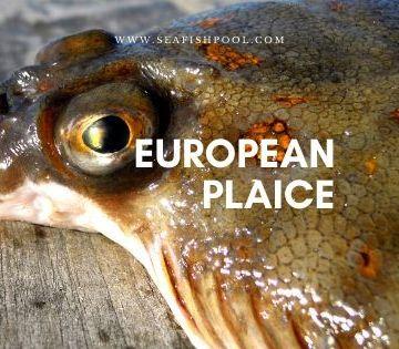 european-plaice