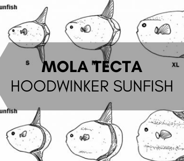 Mola tecta - the hoodwinker sunfish