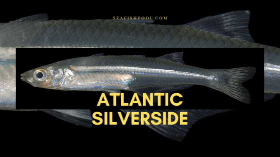 Atlantic Silverside