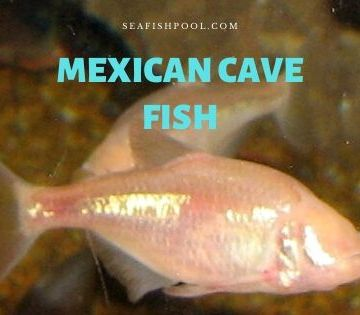 Mexican cave fish