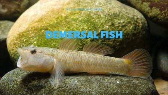 demersal fish