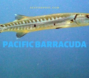 pacific barracuda