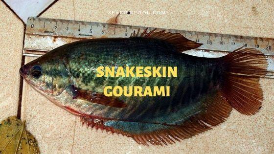 snakeskin gourami