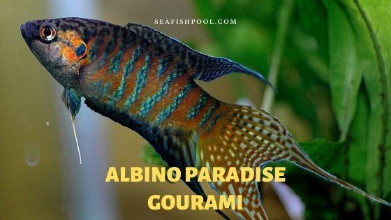 albino paradise gourami