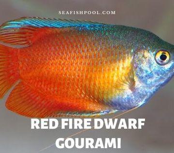 red fire dwarf gourami