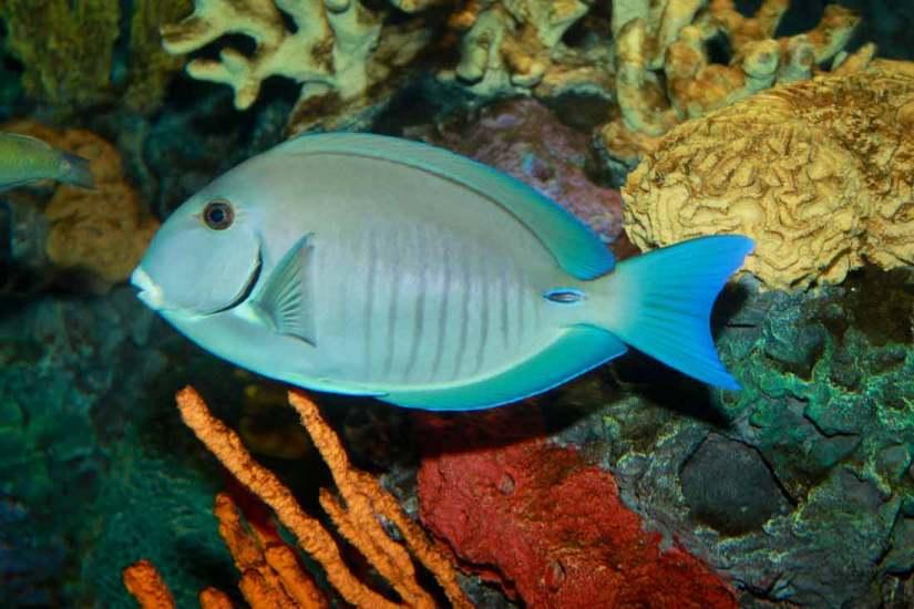 Doctorfish Tang