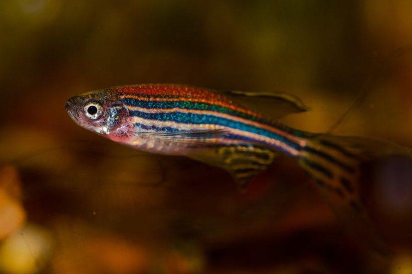 danio-zebrafish