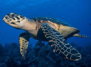 Hawksbill turtle shot on SeaLife underwater camera