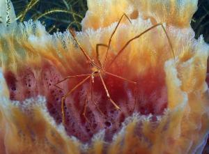 Arrow crab shot on SeaLife underwater camera