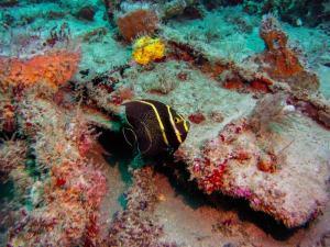 French angelfish shot on SeaLife underwater camera