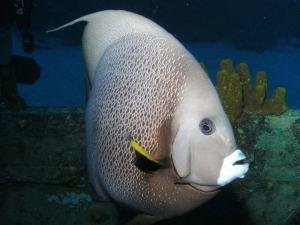 Angelfish shot on SeaLife underwater camera