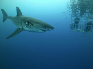 Great white shark shot on SeaLife underwater camera
