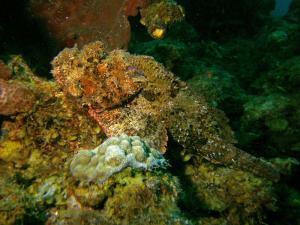 Spotted scorpionfish shot on SeaLife underwater camera