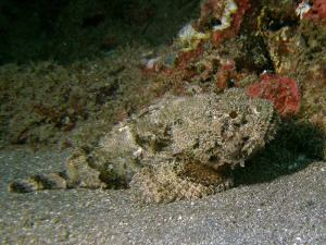 Spotted scorpionfish shot on SeaLife underwater camera